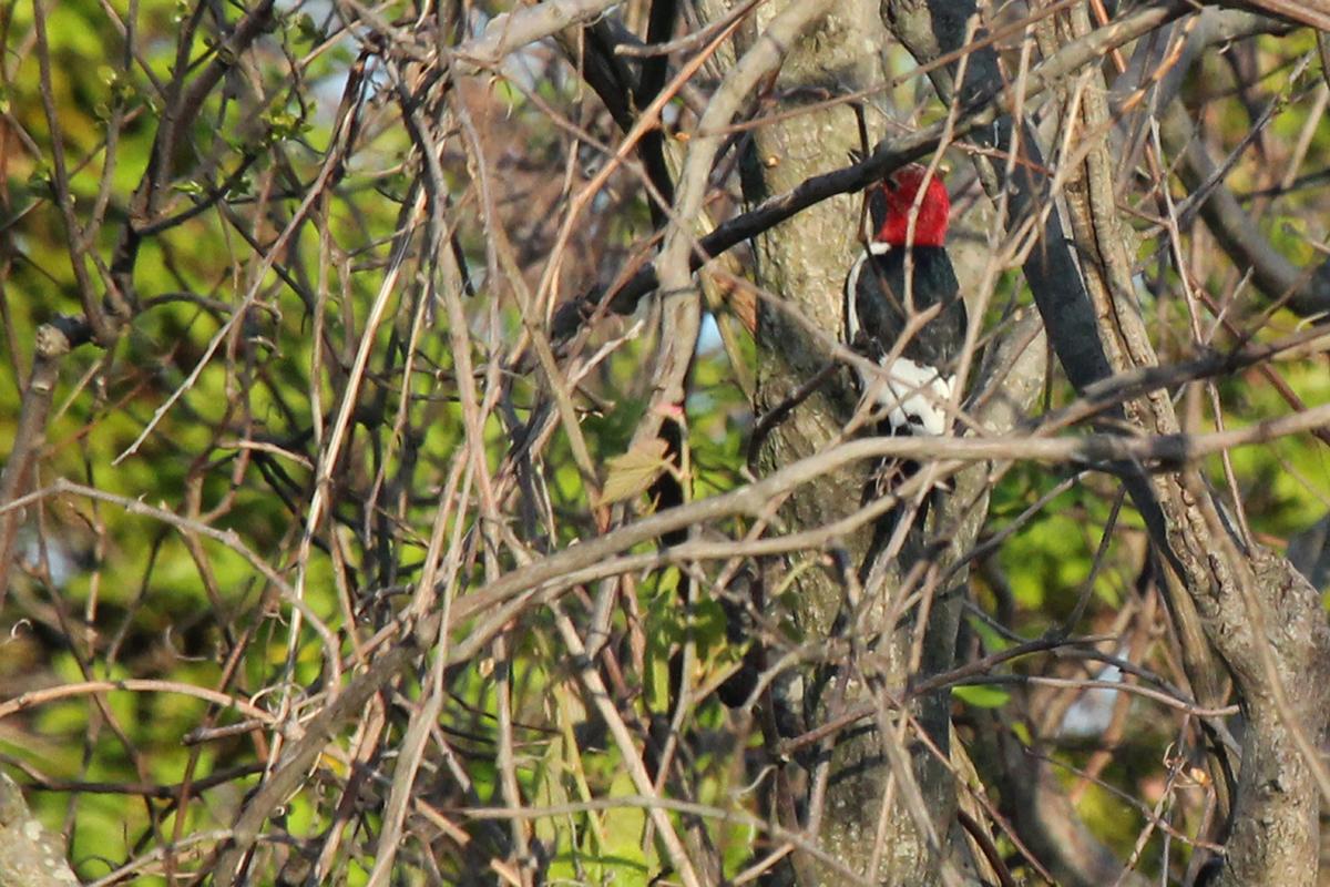 Red-headed Woodpecker / 2 May / Back Bay NWR