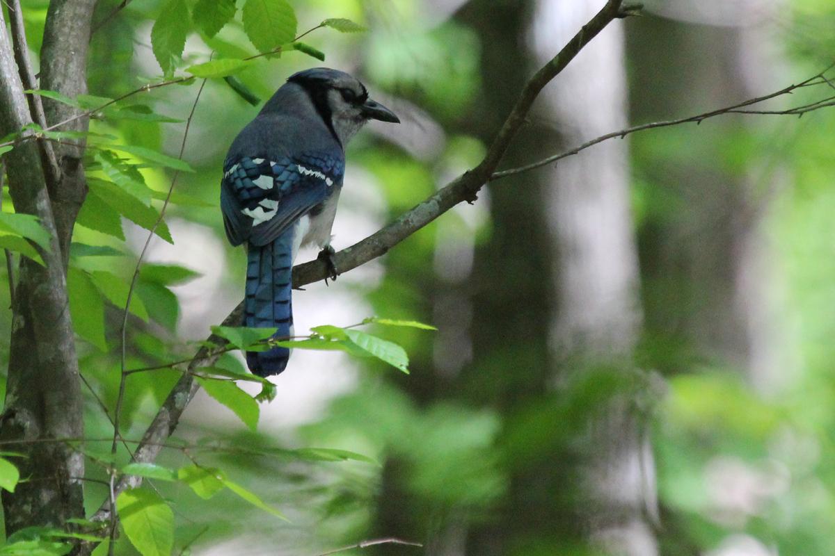 Blue Jay / 4 May / Stumpy Lake NA