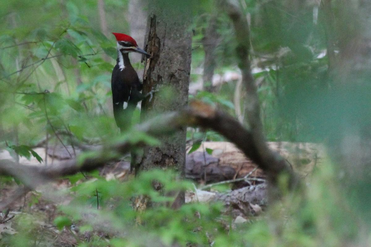 Pileated Woodpecker / 4 May / Stumpy Lake NA