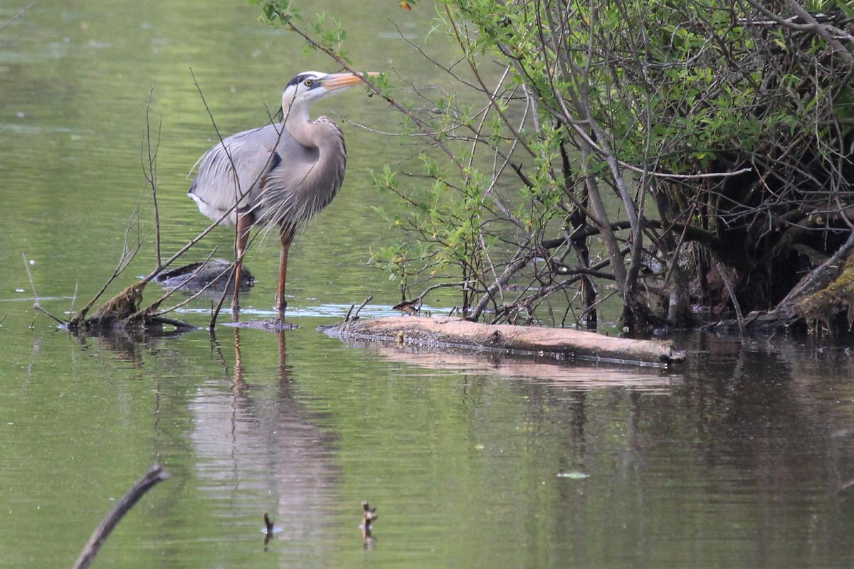 Great Blue Heron / 4 May / Stumpy Lake NA