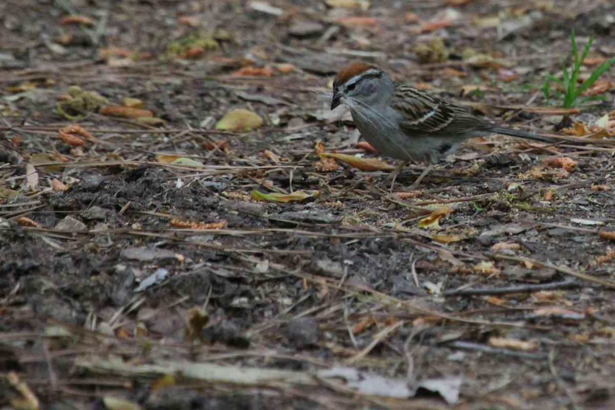 Chipping Sparrow / 5 May / Red Wing Park