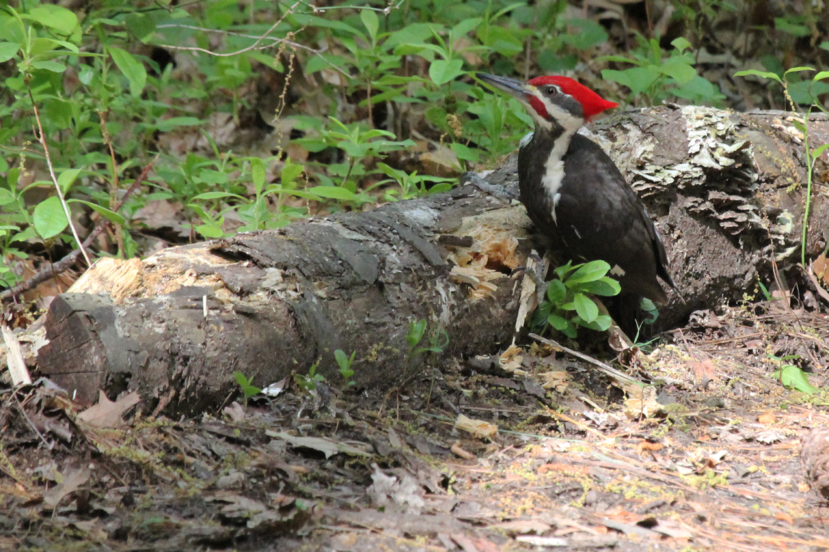 Pileated Woodpecker / 5 May / Red Wing Park