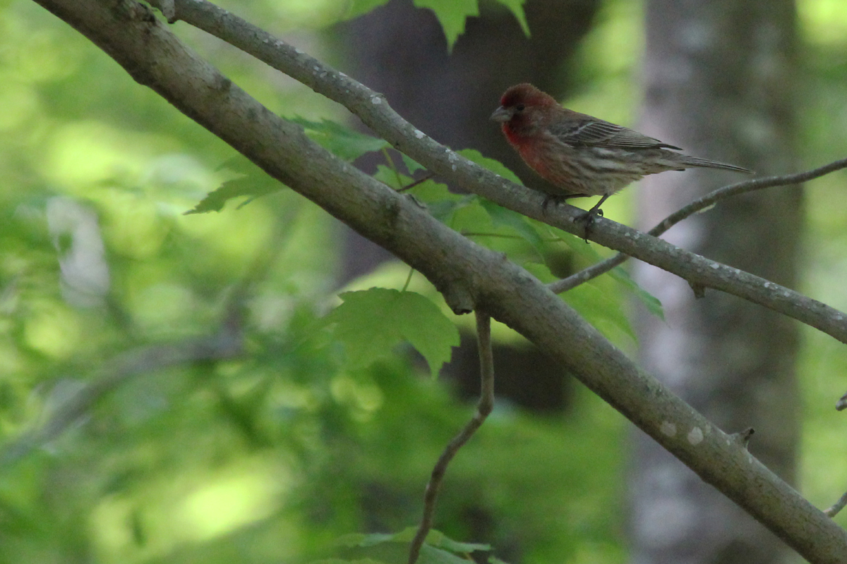 House Finch / 5 May / West Neck Creek NA