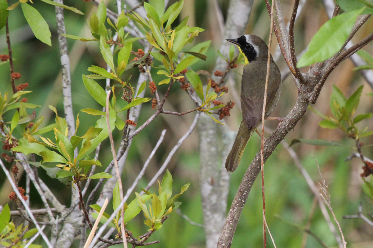 Common Yellowthroat / 5 May / Back Bay NWR