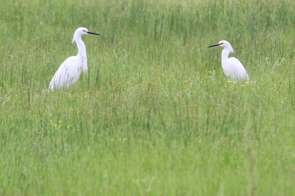 Snowy Egrets / 7 May / Princess Anne WMA Whitehurst Tract