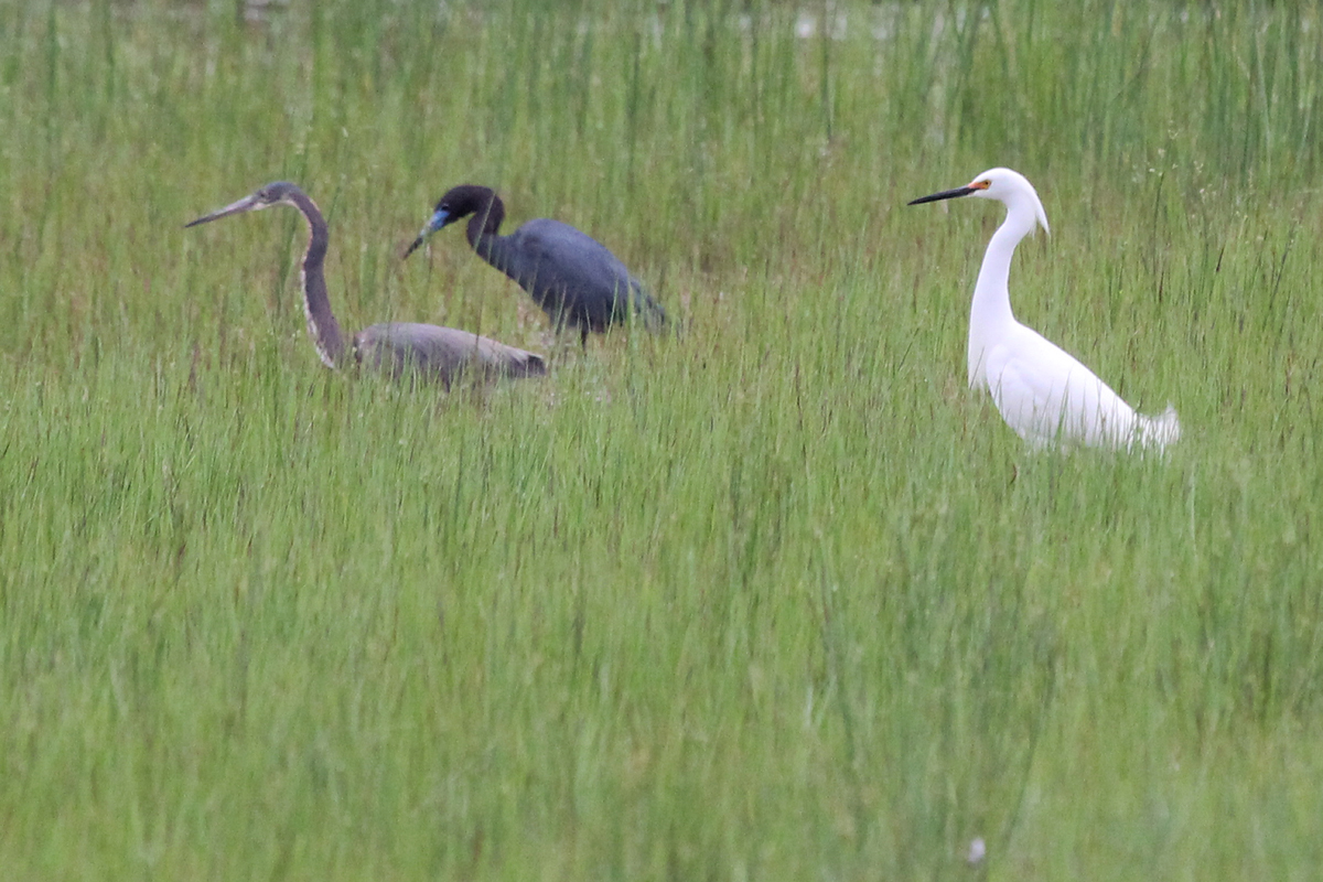 Tricolored Heron, Little Blue Heron & Snowy Egret / 7 May / Princess Anne WMA Whitehurst Tract