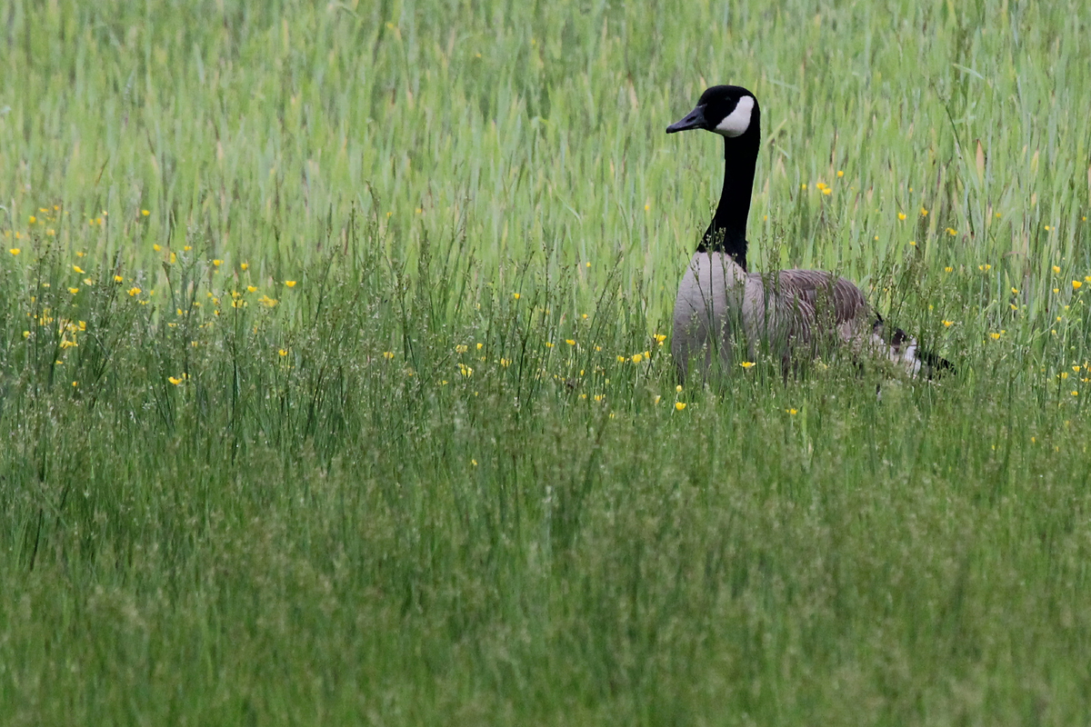Canada Goose / 7 May / Princess Anne WMA Whitehurst Tract