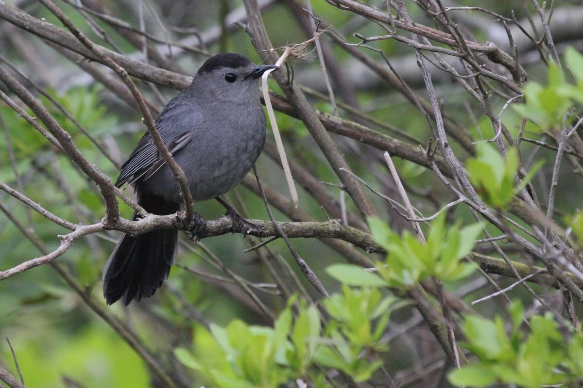 Gray Catbird / 8 May / Back Bay NWR