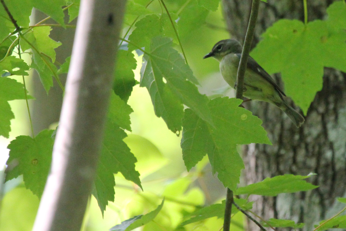 Black-throated Blue Warbler / 12 May / Stumpy Lake NA