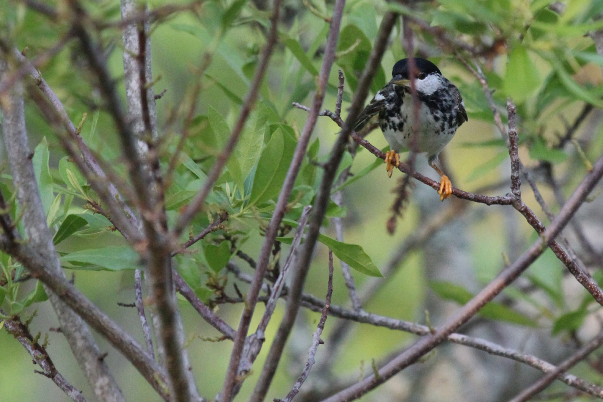 Blackpoll Warbler / 13 May / Back Bay NWR