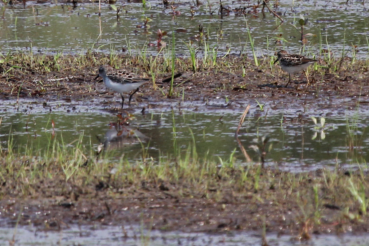 Semipalmated & Least Sandpipers / 13 May / Princess Anne WMA Whitehurst Tract