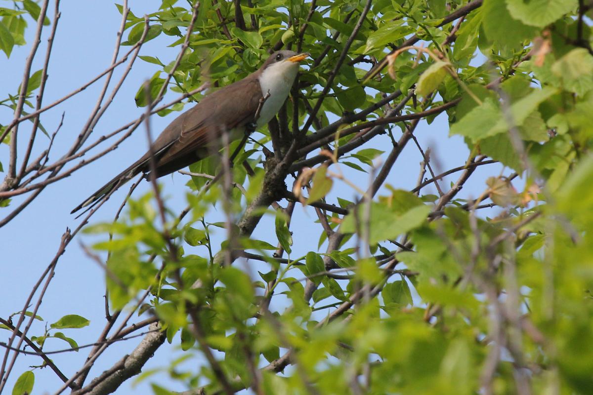 Yellow-billed Cuckoo / 12 May / Back Bay NWR