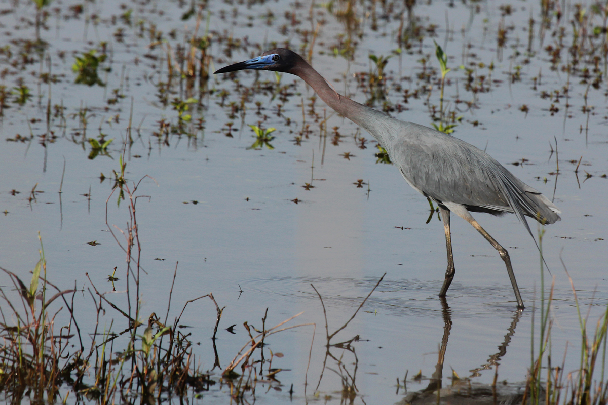 Little Blue Heron / 13 May / Princess Anne WMA Whitehurst Tract