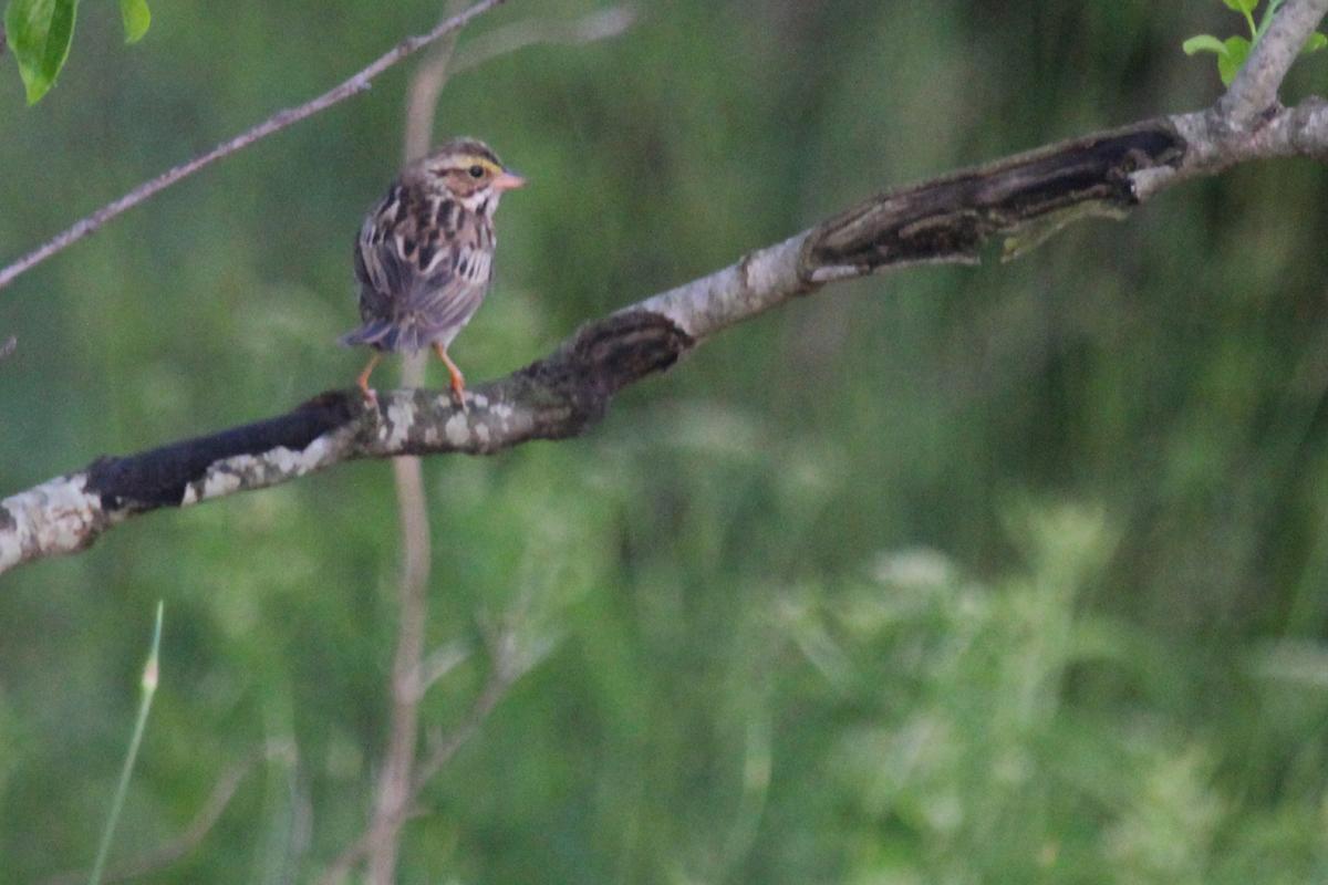 Savannah Sparrow (Savannah) / 11 May / Back Bay NWR