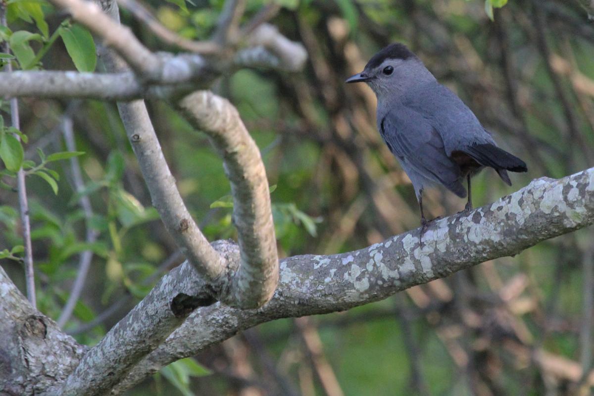 Gray Catbird / 11 May / Back Bay NWR
