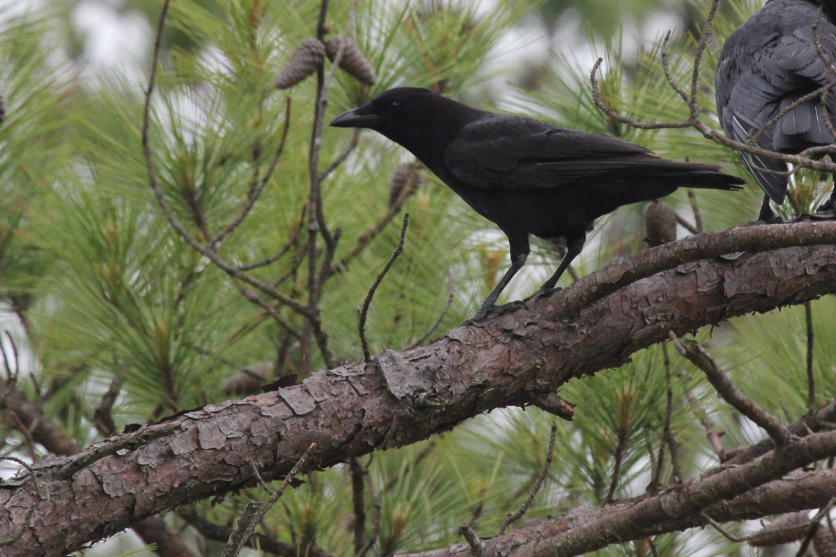 American Crow / 18 May / Pleasure House Point NA