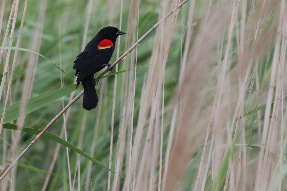 Red-winged Blackbird / 20 May / Back Bay NWR