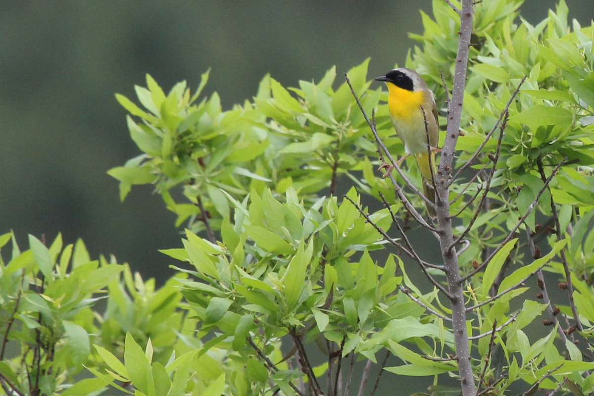 Common Yellowthroat / 19 May / Princess Anne WMA Whitehurst Tract