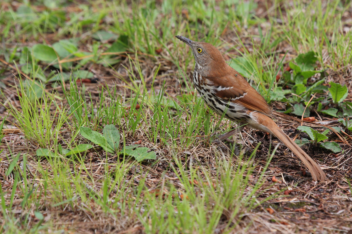 Brown Thrasher / 20 May / Campbells Landing Park
