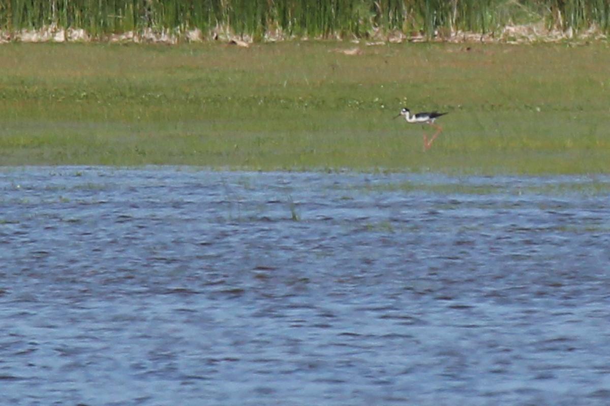 Black-necked Stilt / 25 May / Back Bay NWR