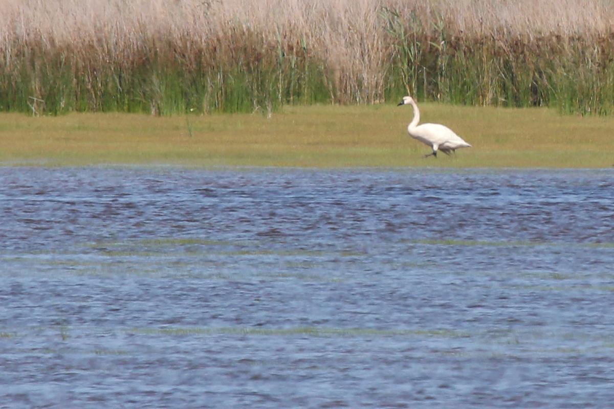 Tundra Swan / 25 May / Back Bay NWR
