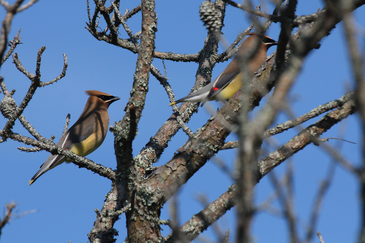 Cedar Waxwings / 25 May / Back Bay NWR