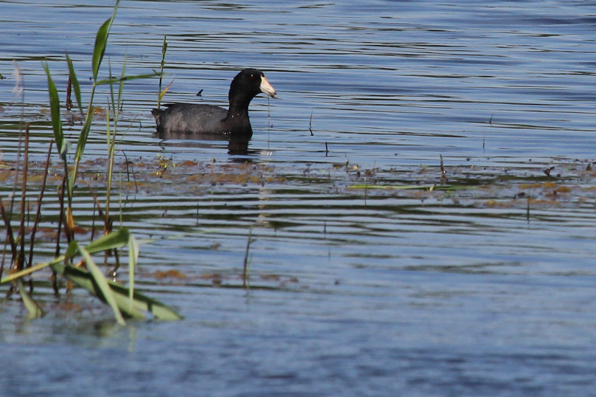 American Coot / 27 May / Princess Anne WMA Whitehurst Tract