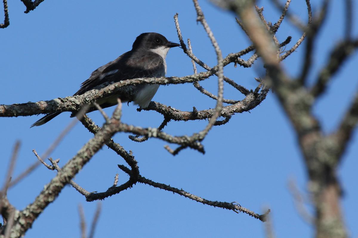Eastern Kingbird / 25 May / Back Bay NWR
