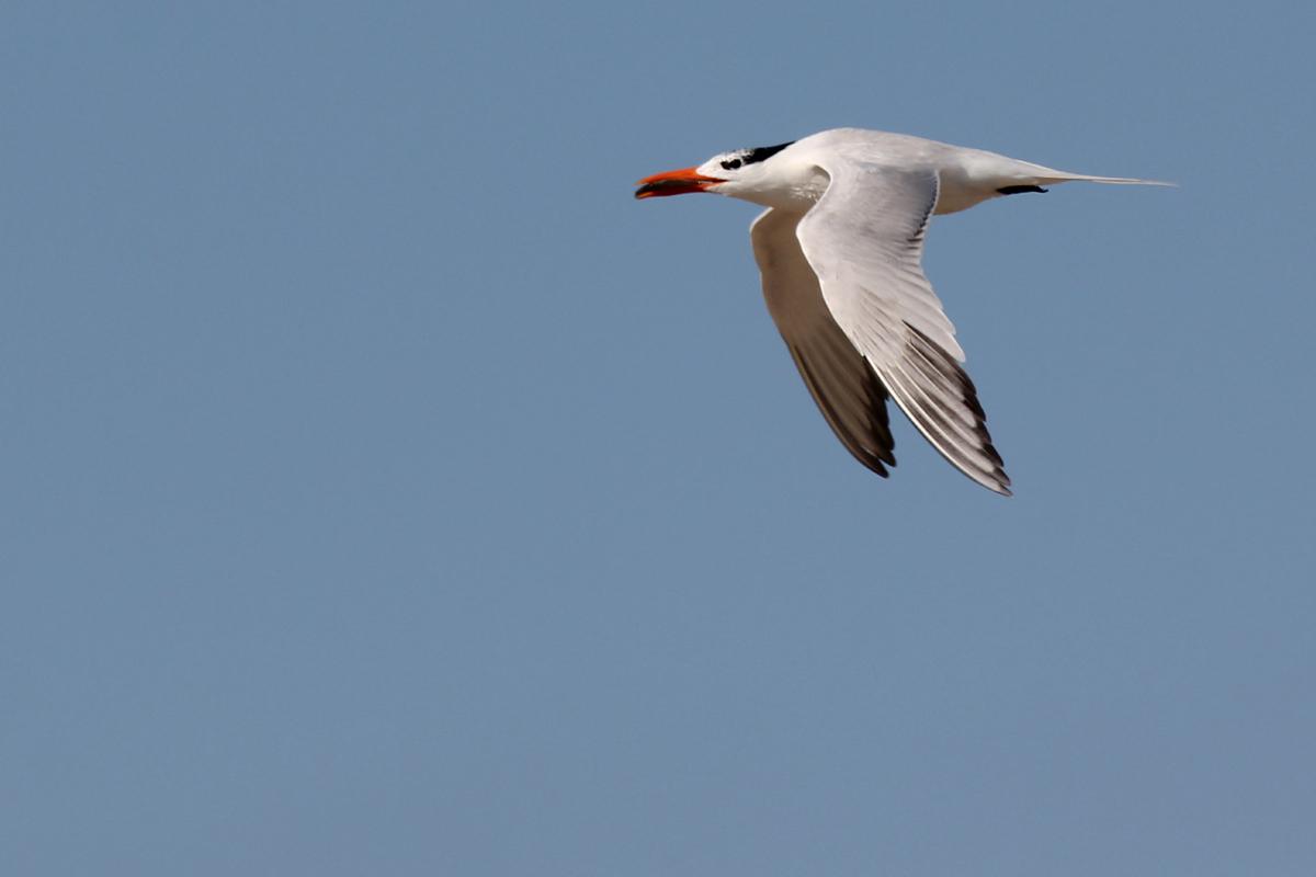 Royal Tern / 13 Jun / Pleasure House Point NA