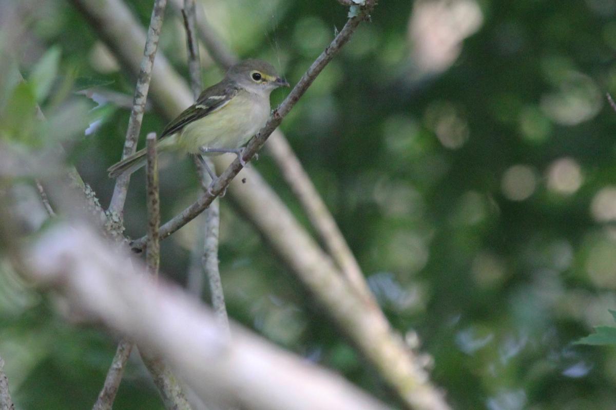 White-eyed Vireo / 17 Jun / Back Bay NWR