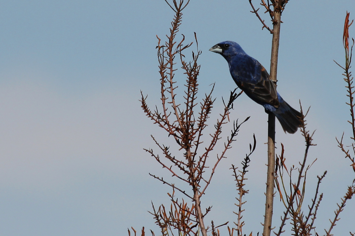 Blue Grosbeak / 21 Jun / Princess Anne WMA Whitehurst Tract