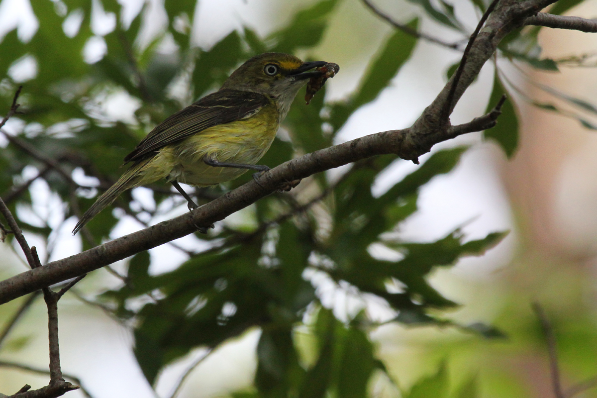 White-eyed Vireo / 23 Jun / Princess Anne WMA Whitehurst Tract