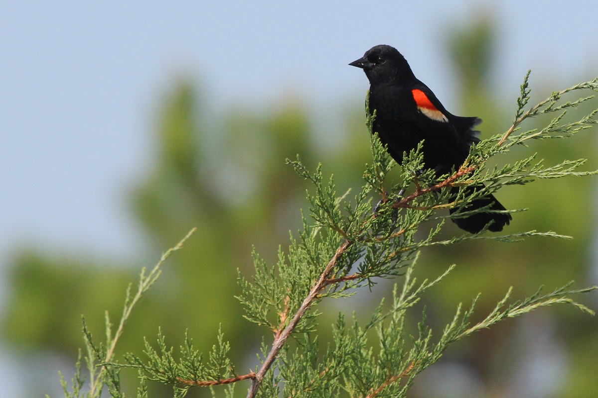 Red-winged Blackbird / 24 Jun / Pleasure House Point NA