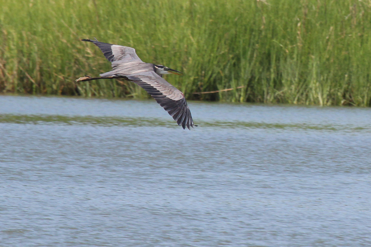Great Blue Heron (Blue Morph) / 24 Jun / Pleasure House Point NA