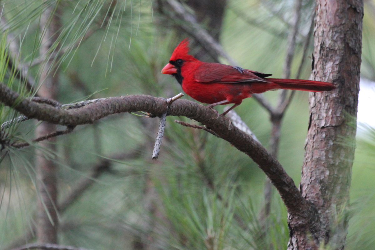 Northern Cardinal / 30 Jun / Pleasure House Point NA