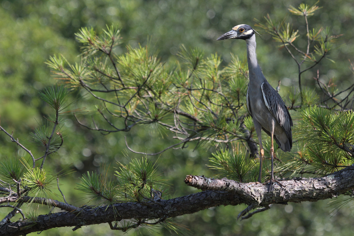 Yellow-crowned Night-Heron / 24 Jun / Pleasure House Point NA