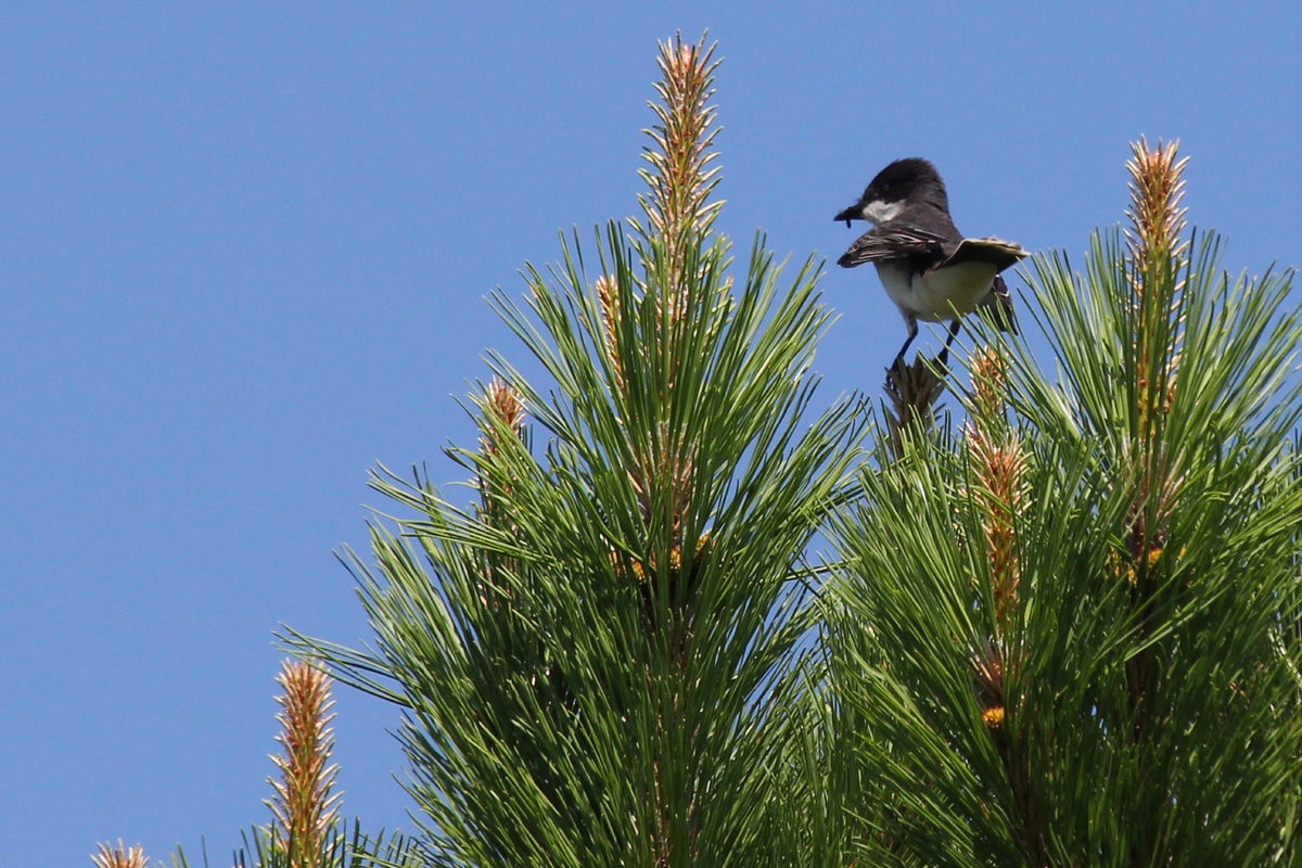 Eastern Kingbird / 24 Jun / Pleasure House Point NA