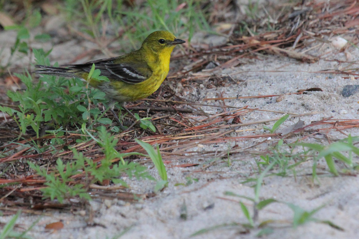 Pine Warbler / 30 Jun / Pleasure House Point NA