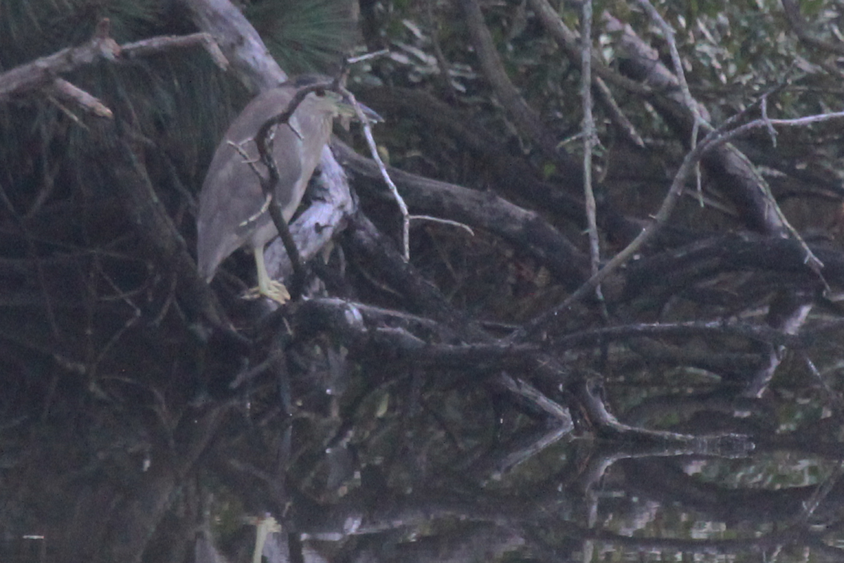 Black-crowned Night-Heron / 30 Jun / Pleasure House Point NA