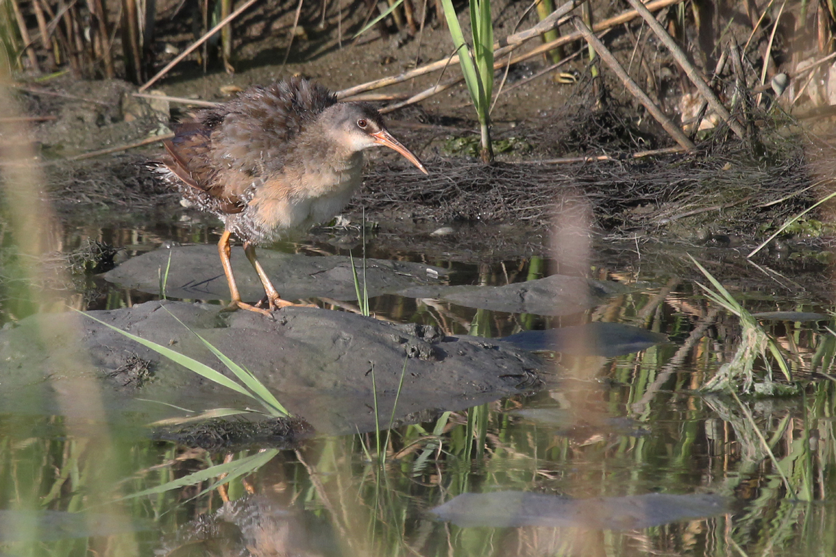 Clapper Rail / 30 Jun / Pleasure House Point NA