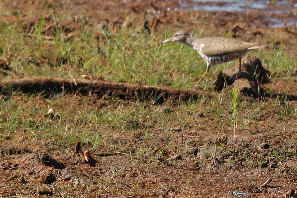 Spotted Sandpiper / 15 Jul / Princess Anne WMA Whitehurst Tract