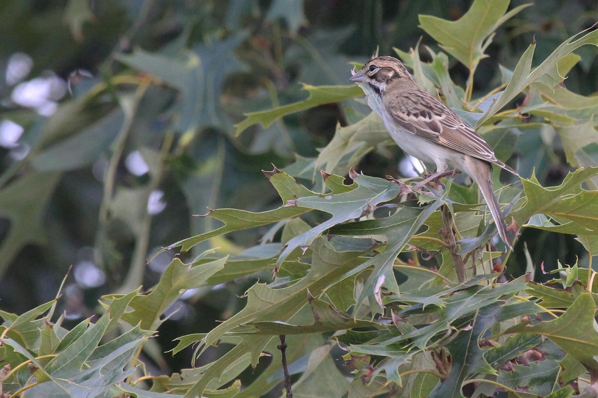 Lark Sparrow / 10 Jul / Marina Shores