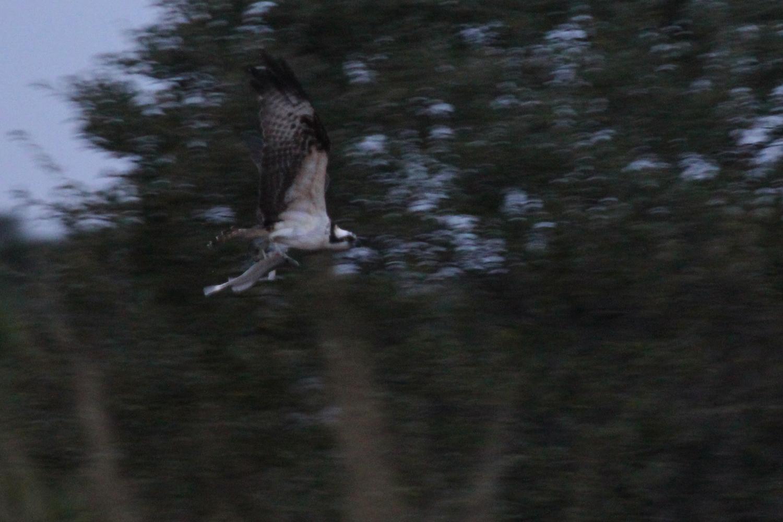 Osprey / 12 Jan / Pleasure House Point NA