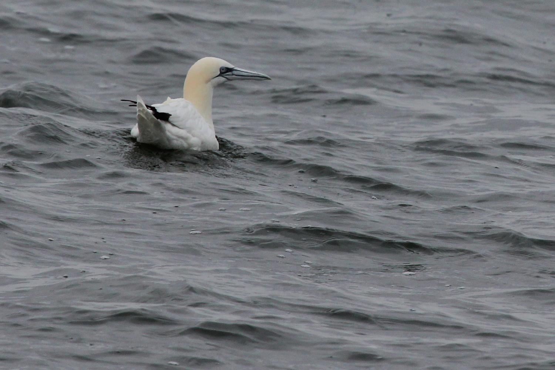 Northern Gannet / 12 Jan / Offshore Oceanfront