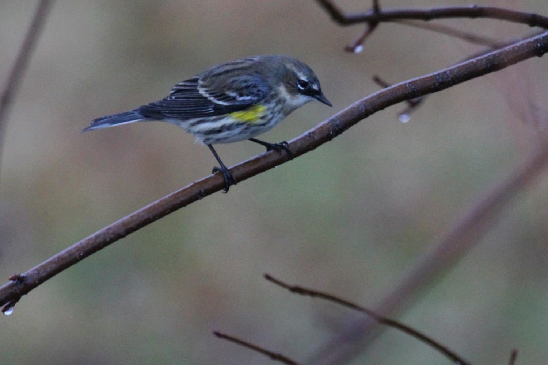 Yellow-rumped Warbler (Myrtle) / 13 Jan / Windsor Woods (Private Residence)