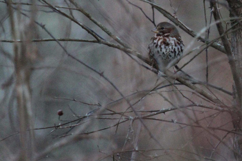 Fox Sparrow (Red) / 16 Jan / Stumpy Lake NA
