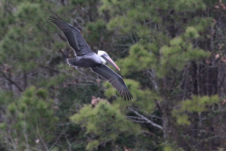 Brown Pelican / 12 Jan / Owl's Creek