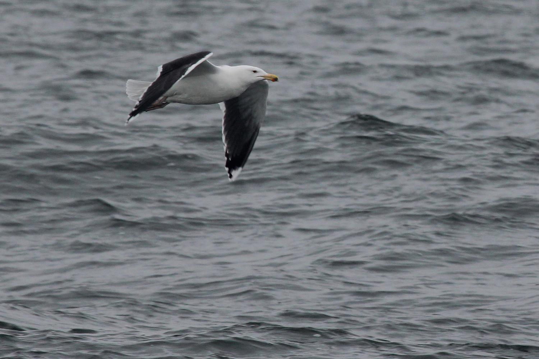 Great Black-backed Gull / 12 Jan / Offshore Oceanfront