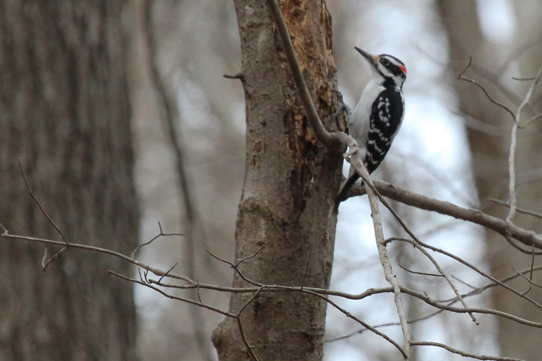 Hairy Woodpecker / 12 Jan / Stumpy Lake NA