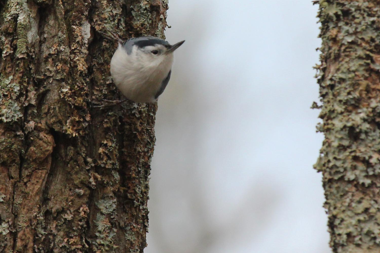 White-breasted Nuthatch / 12 Jan / Stumpy Lake NA